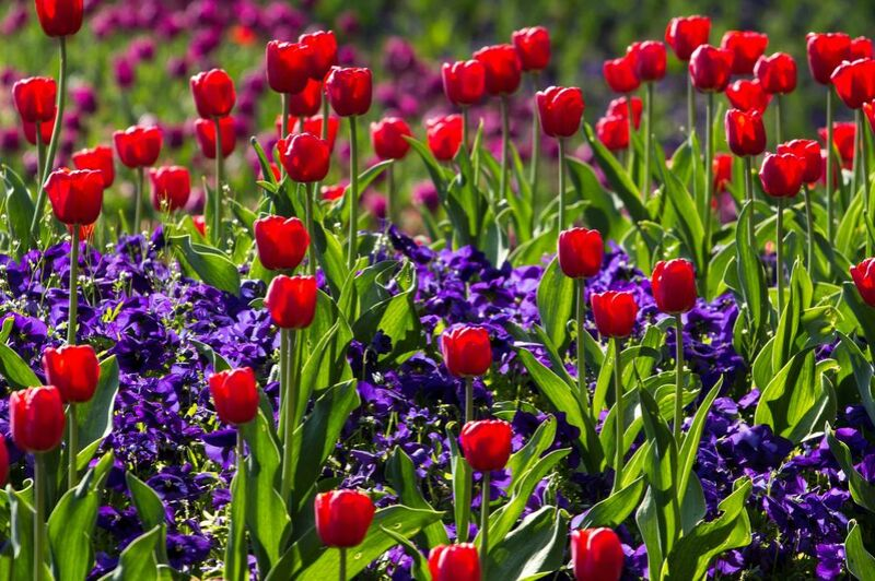 Les tulipes du printemps de Pierre Gaultier Decor Image