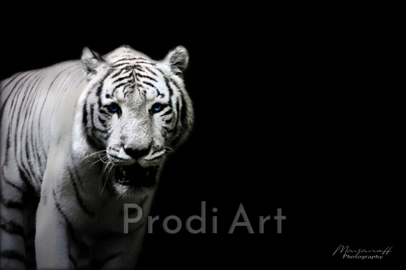 The Siberian Tiger out of the great steppes from Mayanoff Photography Decor Image