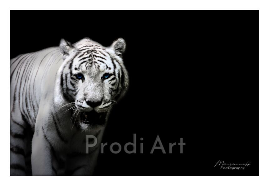 The Siberian Tiger out of the great steppes from Mayanoff Photography, Prodi Art, White Tiger, Siberia, wildlife, wildlife, animal, portrait, feline, tiger