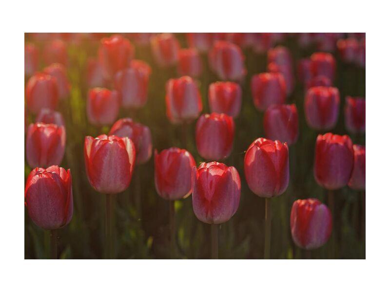 Pink tulips from Pierre Gaultier, Prodi Art, tulips, red, petals, flowers, flora, flower, bloom