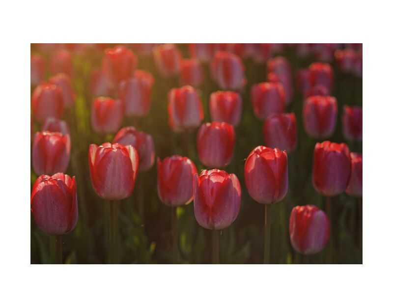 Pink tulips from Pierre Gaultier, Prodi Art, tulips, red, petals, flowers, flora, flower, bloom