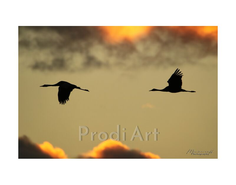 Morning flight from Mayanoff Photography, Prodi Art, dawn, clouds, flight, morning, birds, flight, clouds, dawn, morning, birds, cranes, slhouettes, cranes
