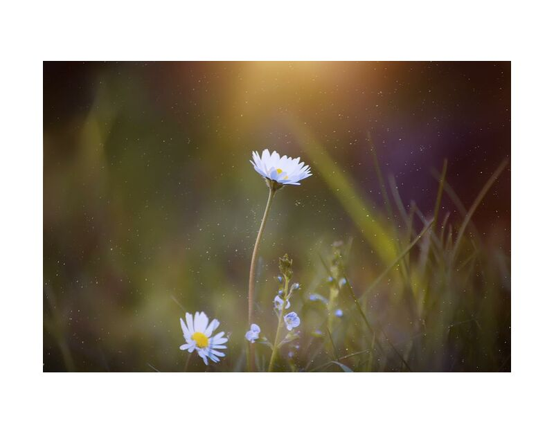 Sunshine from Pierre Gaultier, Prodi Art, blooming, blur, close-up, daisy, delicate, flora, flowers, focus, grass, growth, leaves, macro, majestic, nature, petals
