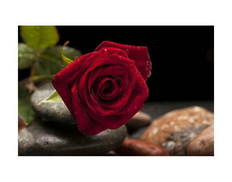 The Red Rose from Pierre Gaultier, Prodi Art, bloom, blooming, blossom, blur, close-up, delicate, depth of field, dew, flora, flower, focus, leaves, macro, petals, rocks, rose