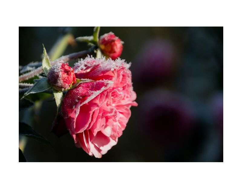 Morning frost from Pierre Gaultier, Prodi Art, bloom, blooming, blossom, blur, close-up, delicate, depth of field, flora, flower buds, flowers, focus, freezing, frosty, frozen, growth, ice, icy, macro, petals, roses