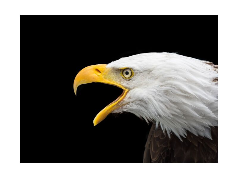 Beak of the Eagle from Pierre Gaultier, Prodi Art, bald eagle, raptor, head, close, adler, bird of prey, bird, bill, white tailed eagle, nature, animal, portrait, wild bird, white head, bald eagles