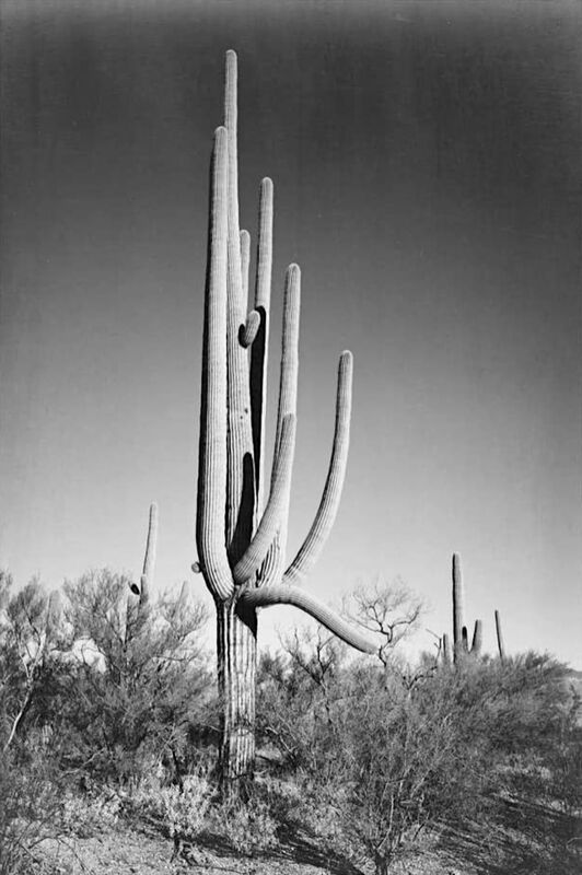 Full View of Cactus and Surrounding Shrubs - Ansel Adams from AUX BEAUX-ARTS Decor Image