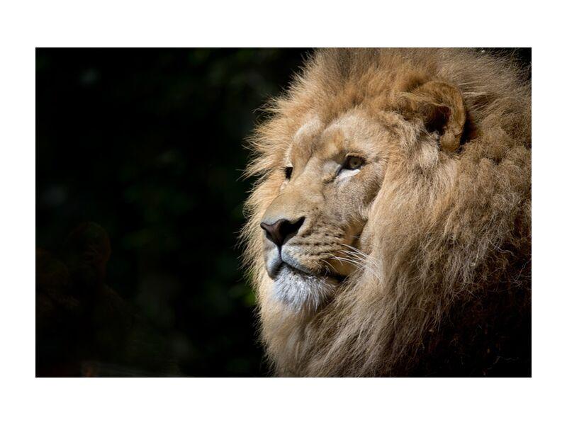 Le félin de Pierre Gaultier, Prodi Art, Lion, sauvage, Afrique, africain, félins, zoo, faune, fauve, animal, animal sauvage, majesté, portrait, félin, portrait d'anima