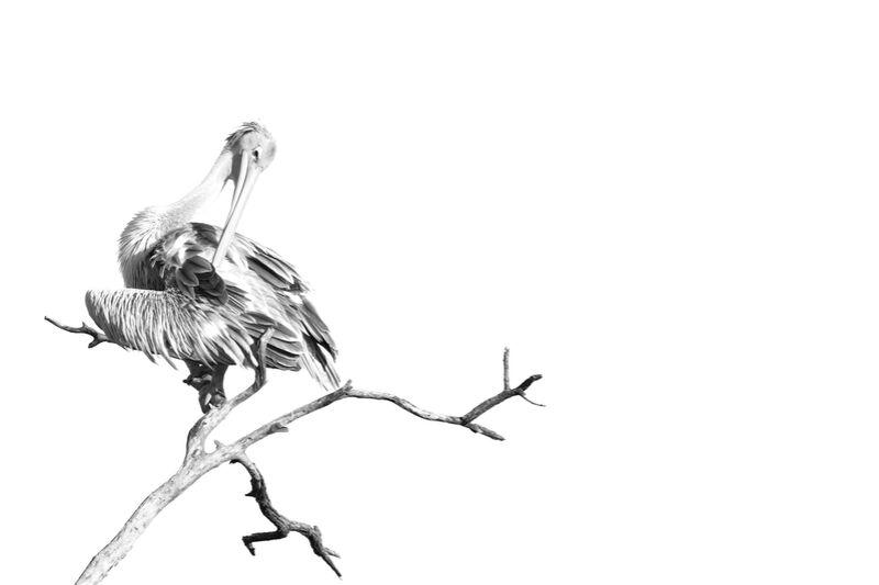 Pelican gris en noir & blanc 1 de Emilie Tournier Decor Image