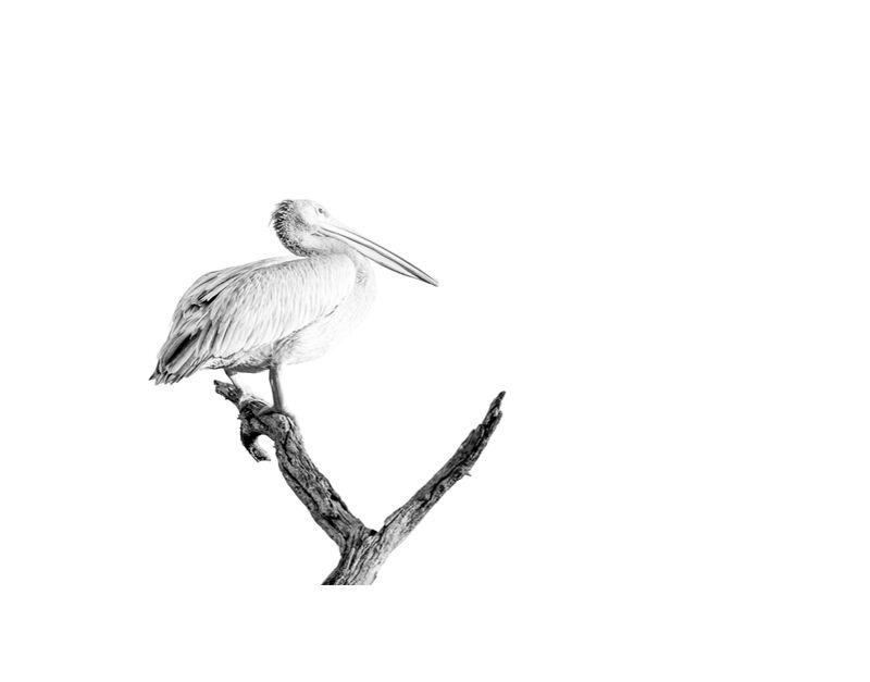 Pelican gris en noir & blanc 2 de Emilie Tournier, Prodi Art, Afrique, Botswana, Kalahari, Parc national de Makgadigadi, noir et blanc, Pélican gris, animal, désert du Kalahari, high-key, pélican, surexposition