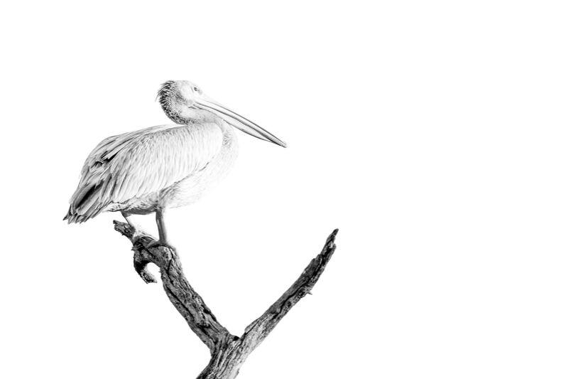Pelican gris en noir & blanc 2 de Emilie Tournier Decor Image