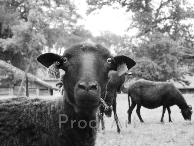 The black sheep from Audrey Clémentine Conilh Anderson Decor Image