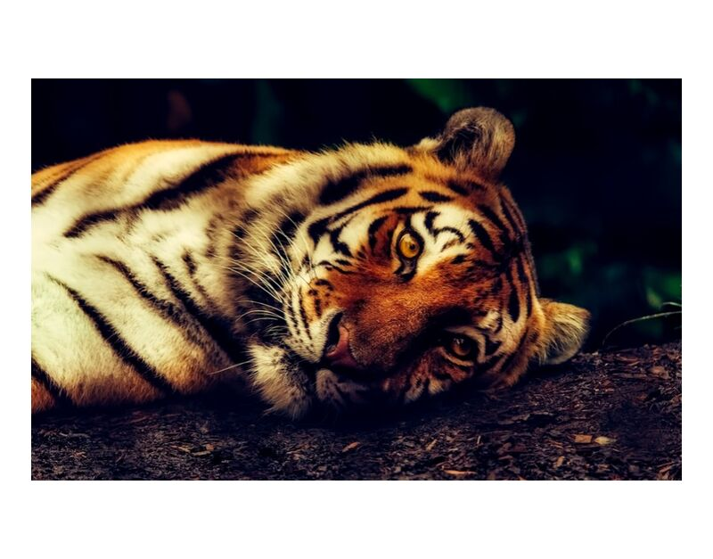 Lying Tiger from Pierre Gaultier, Prodi Art, predator, close-up, macro, resting, wildlife, animal, tiger