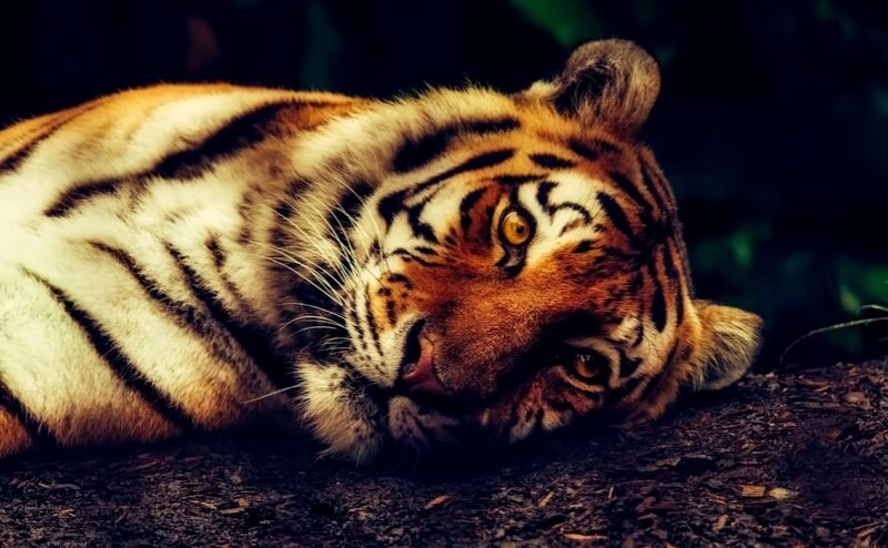 Lying Tiger from Pierre Gaultier Decor Image
