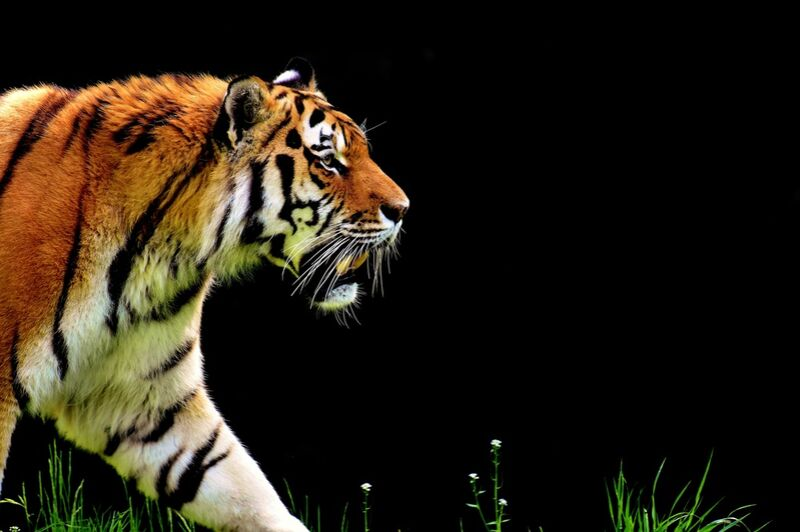 Tiger walking from Pierre Gaultier Decor Image