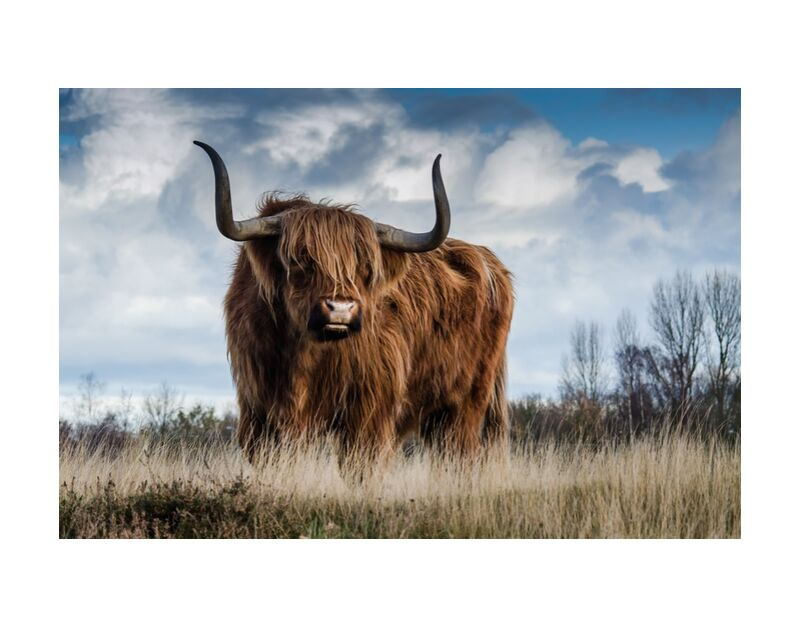 The buffalo meadow from Pierre Gaultier, Prodi Art, farm, cattle, meadow, animal, mammal, nature, landscape, bull