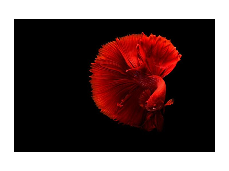 Siamese fighting fish from Pierre Gaultier, Prodi Art, art, beautiful, bright, color, coloring, contrast, dark, delicate, fish, love, red, siamese fighting fis