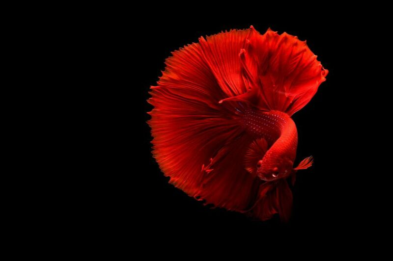 Siamese fighting fish from Pierre Gaultier Decor Image