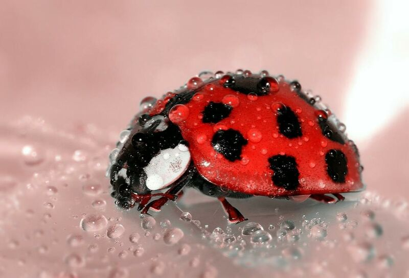 Red Ladybird from Pierre Gaultier Decor Image