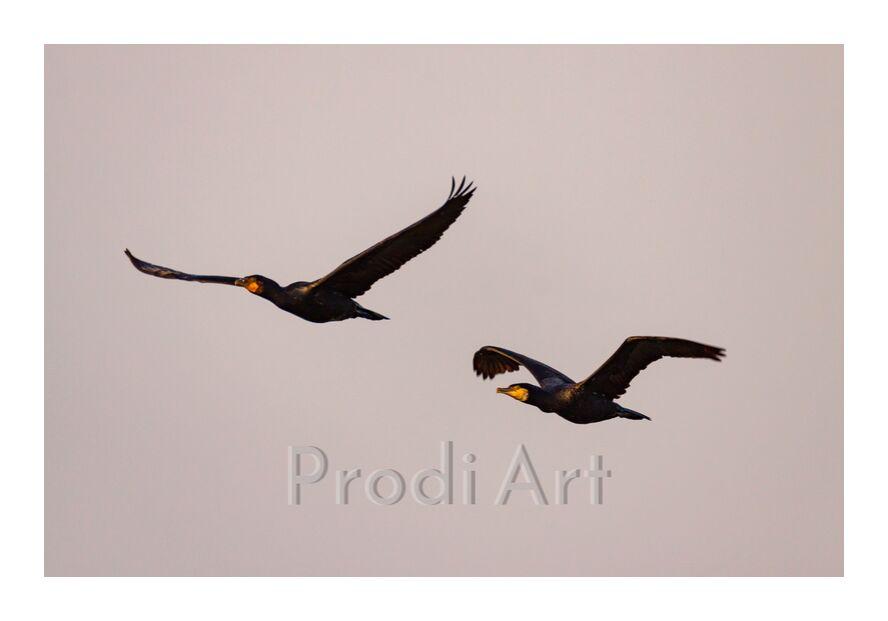 Vols de Cormorans from NATUREL PHOTOS OUEST, Prodi Art, Lake Grandlieu, flight, birds, cormorants