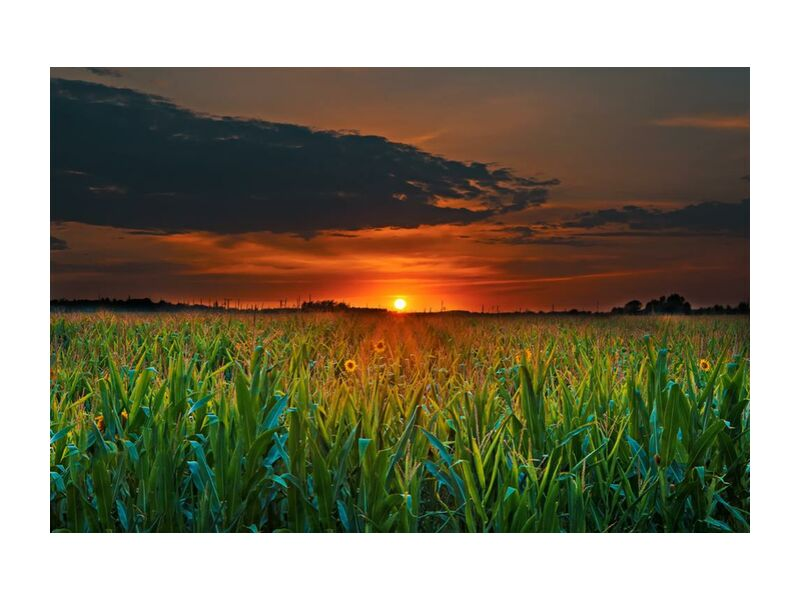Crépuscule from Aliss ART, Prodi Art, agriculture, clouds, countryside, cropland, dawn, dusk, evening, farm, farmland, field, flowers, grass, growth, landscape, nature, outdoors, rural, sky, summer, Sun, sunflowers, sunset, corn, corn field, crop