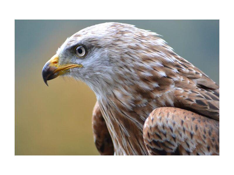 Regard perçant de Pierre Gaultier, Prodi Art, animal, aviaire, oiseau, oiseau de proie, gros plan, vue, aigle, faucon, plumes, vol, chasseur, plumage, prédateur, fierté, rapace, sauvage, faune, aile