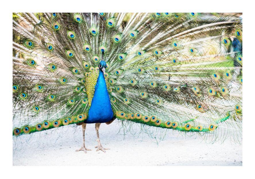 Ose offrir au monde la Beauté de ton Âme de Marie Guibouin, Prodi Art, paon, marie guibouin, âme, spiritualité, nature, beauté, paon qui fait la roue, connexion au monde, grandiose