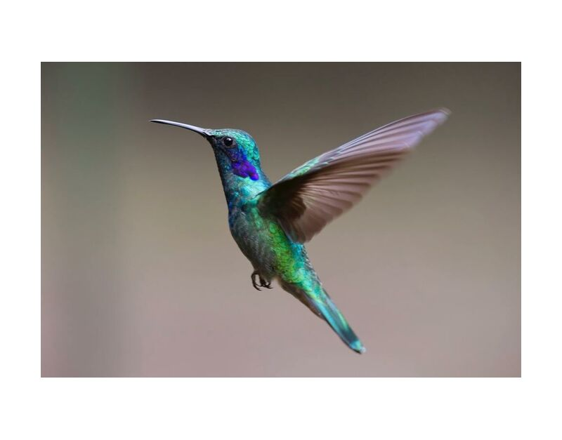The Hummingbird from Pierre Gaultier, Prodi Art, animal, avian, beak, bird, blur, close-up, color, colourful, daylight, exotic, feathers, focus, hummingbird, iridescent, little, outdoors, plumage, side, view, wild, wildlife, wings