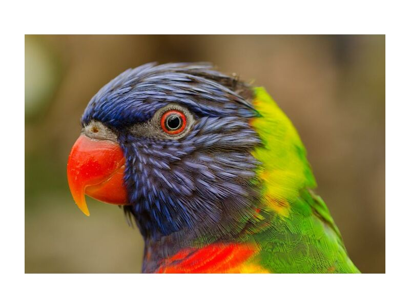Parrot of the islands from Pierre Gaultier, Prodi Art, animal, beak, bird, closeup, eye, fauna, flying, parrot, rainforest, tropical, zoo