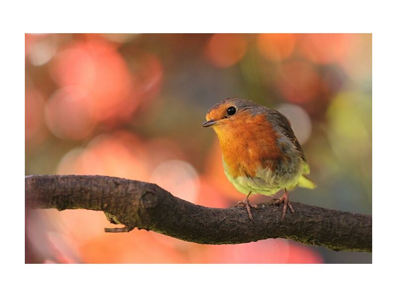 Bird on branch from Pierre Gaultier, Prodi Art, animal, animal, photography, bird, branch, close-up, macro, nature, perched, robin