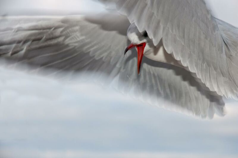 The gull race from Pierre Gaultier Decor Image
