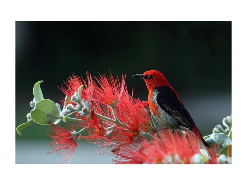 Bird on plant from Pierre Gaultier, Prodi Art, animal, bird, feathers, macro, nature, plant, red, scarlet, honey eater, wildlife