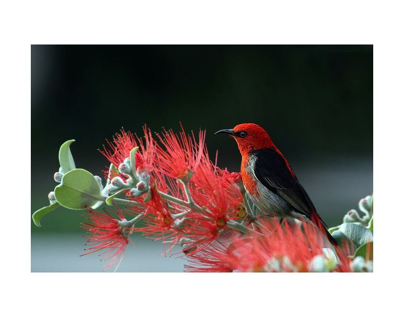Bird on plant from Pierre Gaultier, Prodi Art, animal, bird, feathers, macro, nature, plant, red, scarlet, honey eater, wildlife