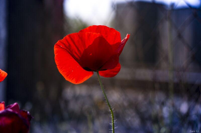 Tulipe de Caro Li Decor Image
