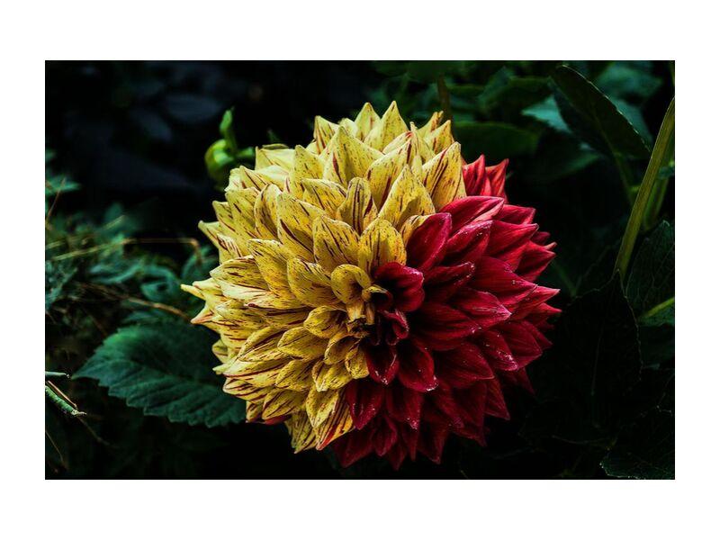 Flower of the islands from Pierre Gaultier, Prodi Art, bloom, blossom, flora, flower, plant