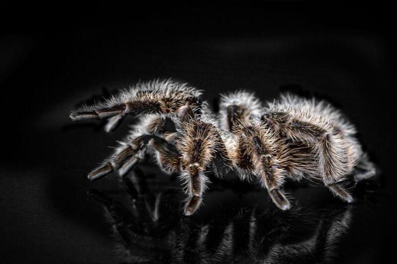 L'araignée de Pierre Gaultier Decor Image