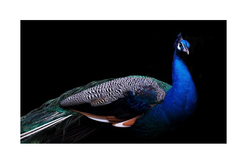 The pose of the pan from Pierre Gaultier, Prodi Art, animal, avian, beak, beautiful, bird, colorful, exotic, feathers, head, neck, peacock, wild, wildlife