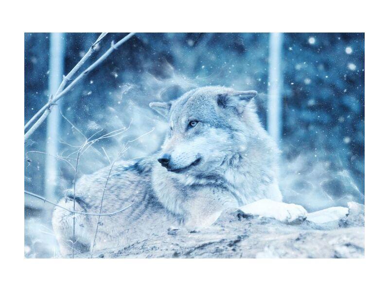 Cold spirit from Aliss ART, Prodi Art, scenic season, polar, Lying down, gray wolf, danger, wolf, winter, wildlife, wilderness, wild, weather, snow, outdoors, nature, mammal, ice, fur, frozen, frosty, freezing, environment, dog, daylight, cold, close-up, animal