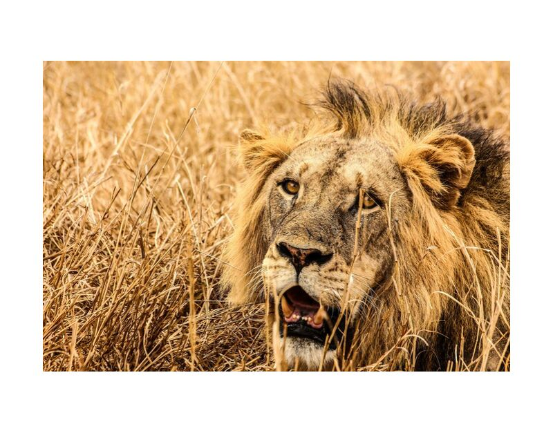 Power from Aliss ART, Prodi Art, animal, animal photography, big cat, close-up, dangerous, eyes, feline, fur, grass, head, hunter, mammal, nature, outdoor, outdoors, predator, safari, whiskers, wild, wild animal, wildlife, big, carnivore, daytime, landscape  lion