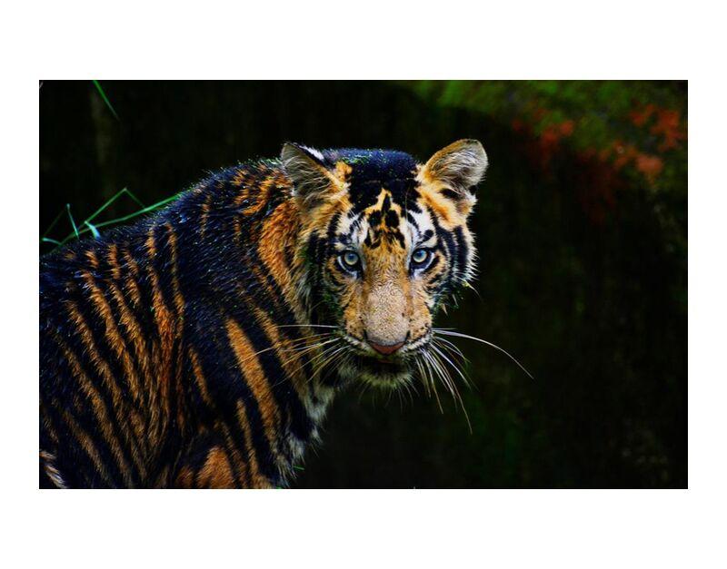 إشعاع from Aliss ART, Prodi Art, animal, big cat, carnivore, dangerous, mammal, predator, safari, tiger, wild animal, wild cat, wildlife, zoo, endangered