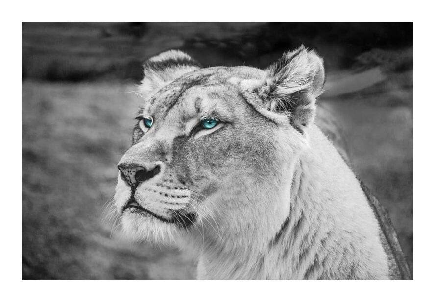 Regard percant from Aliss ART, Prodi Art, animal, animal photography, big, big cat, black and white, blurred background, carnivore, dangerous, defocused, endangered, eyes, face, felidae, feline, fur, head, hunter, mammal, predator, whiskers, wild, wild animal, wildlife, close -up, lioness