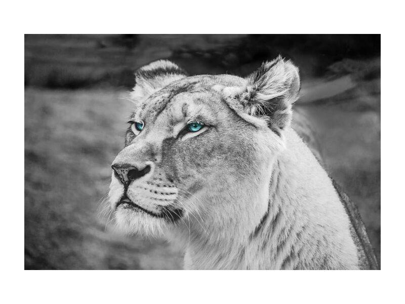Piercing gaze from Aliss ART, Prodi Art, lioness, close up, wildlife, wild animal, wild, whiskers, predator, mammal, hunter, head, fur, feline, felidae, face, eyes, endangered, defocused, dangerous, carnivore, blurred background, black-and-white, big cat, big, animal photography, animal