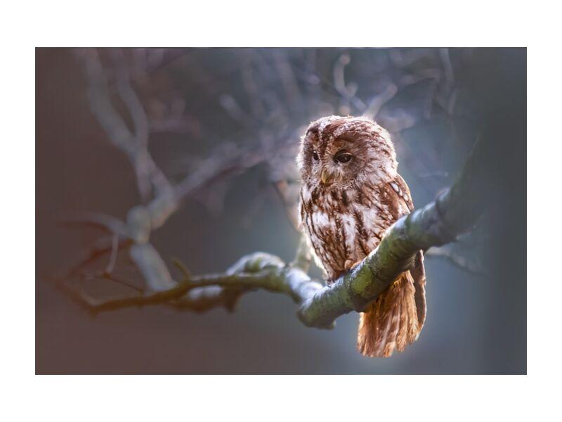 The owl's wait from Pierre Gaultier, Prodi Art, bird, predator, branch, nature, winter, owl