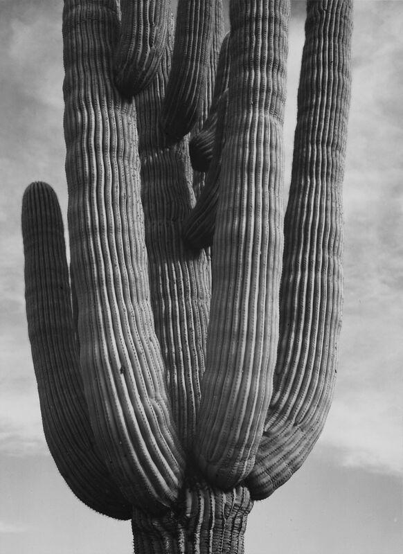 Cactus au monument national de Saguaro, Arizona - ANSEL ADAMS 1958 de Aux Beaux-Arts Decor Image