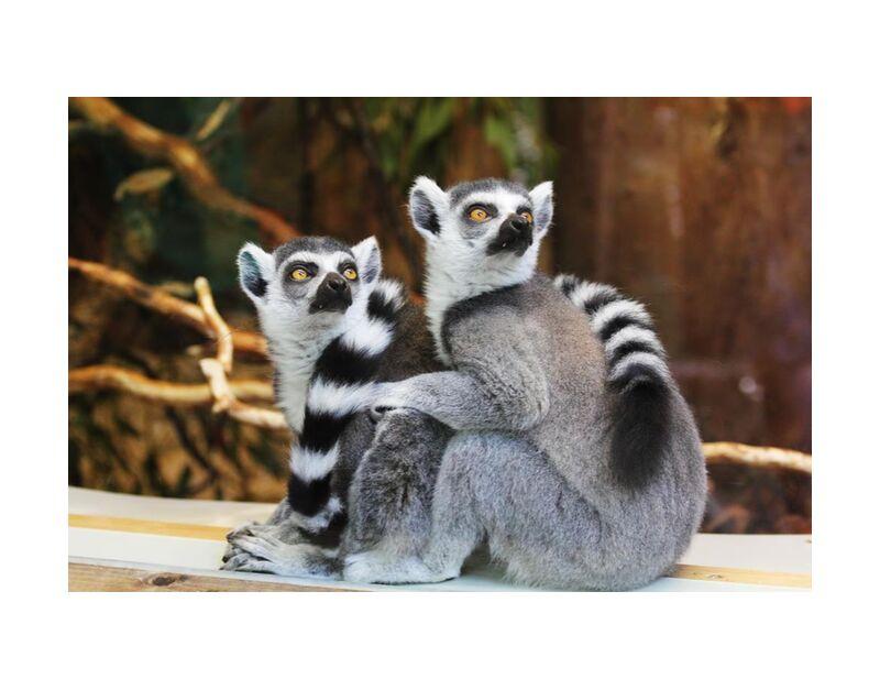 نظرة مكثفة from Aliss ART, Prodi Art, primate, lemurs, lemur catta, furry, wildlife, outdoors, nature, cute, animals