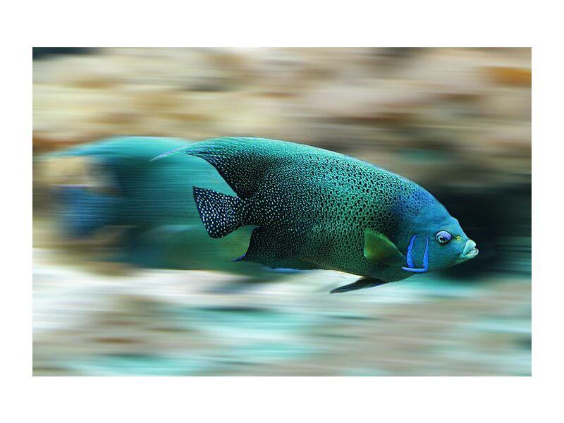 L'ombre colorée from Aliss ART, Prodi Art, fish, marine, marine life, motion, nature, speed, swim, water, aqua, aquatic, scale, time-lapse