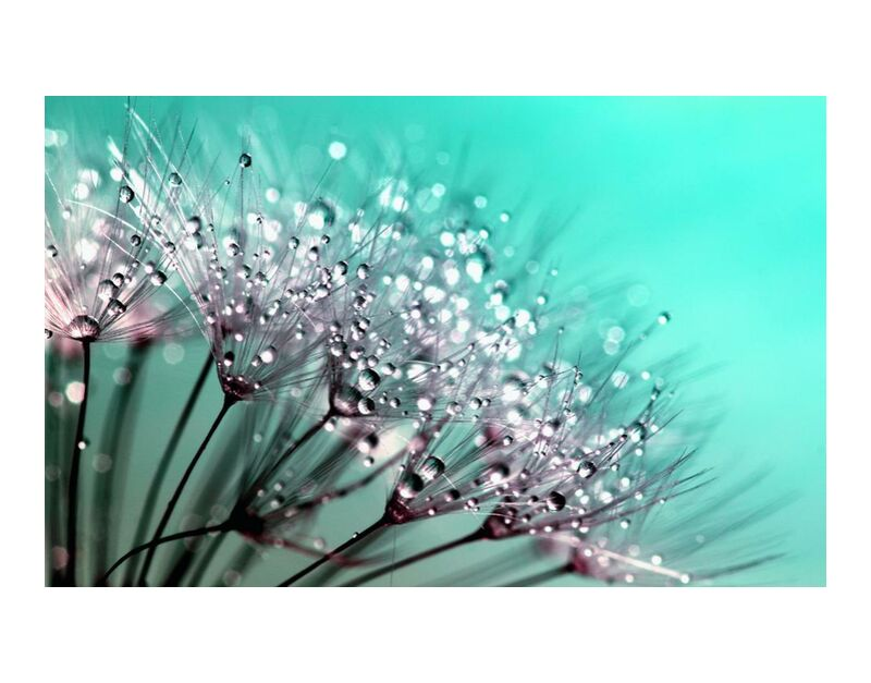 Morning dew from Aliss ART, Prodi Art, raindrops, macro photography, dewdrops, dandelion seeds, blowballs, water drops, nature, macro, flowers, flora, dew, dandelion, close up