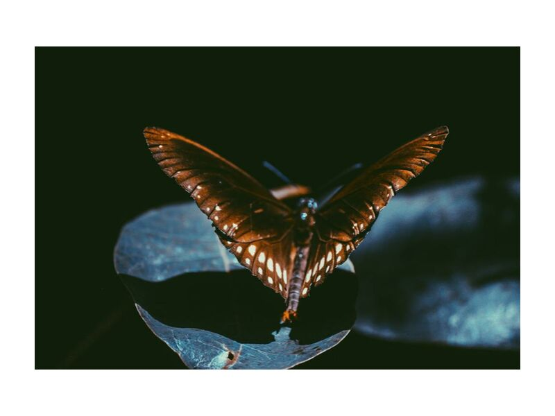 Dark from Aliss ART, Prodi Art, Srilanka, moth, monarch, lepidoptera, wings, macro, insect, dark, close-up, butterfly