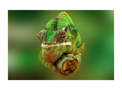 Chameleon from Pierre Gaultier, Prodi Art, Art photography, Giclée Art print, Standard frame sizes, Prodi Art