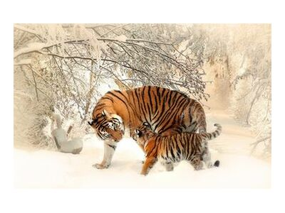 Tigers in the snow from Pierre Gaultier, Prodi Art, Art photography, Giclée Art print, Standard frame sizes, Prodi Art